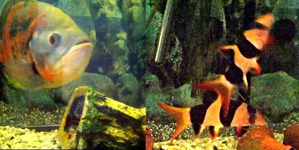 umgestossenes Häuschen im Aquarium, aufgeregte Fische